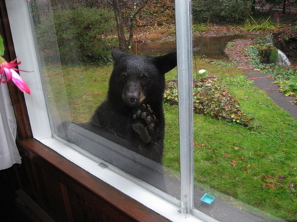 bear looking in window